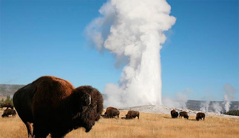 Bisonte en los alrededores de un géiser de Yellowstone